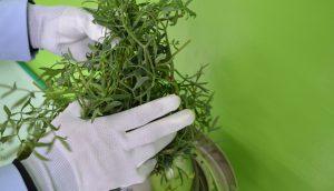 Qing Garden Sea fennel hydrosols